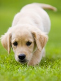 Golden Retriever Puppy Playing Outdoors Photographic Print by Jim Craigmyle