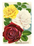 Illustration of Red, White and Yellow Roses Giclee Print