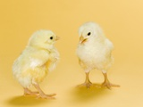 Chicks Photographic Print by Randy M. Ury