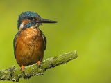 Common Kingfisher Perching Photographic Print by Andy Rouse