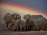 Elephants Taking Mud Bath Fotografisk tryk af Jim Zuckerman