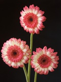 Three Gerbera Daisies on Dark Background Photographic Print by Clive Nichols