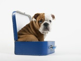 English Bulldog Puppy Sitting in a Lunch Box Photographic Print by Peter M. Fisher