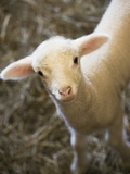 Baby Lamb Photographic Print by Scott Barrow