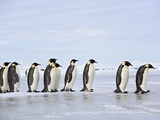 Line of Emperor Penguins Photographic Print by Frank Lukasseck