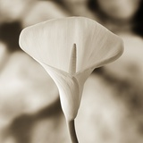 Calla Lily Against White Rocks Reproduction photographique par Tom Marks