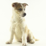 Siberian Husky Puppy Photographic Print by Pat Doyle