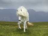 Icelandic Pony Photographic Print