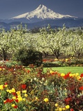 Tulips and Pear Orchard Below Mt. Hood Fotografie-Druck von John McAnulty
