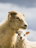 Adult Icelandic Sheep with Lamb Photographic Print by Frank Lukasseck