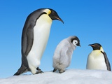Emperor penguin parents with chick Photographic Print by Frank Krahmer
