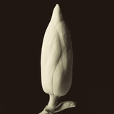 Single Magnolia Bud in Spring Photographic Print by Tom Marks