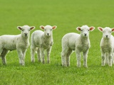 Four Lambs in Pasture Photographic Print by Jason Hosking