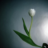 White Tulip Photographic Print by Paul Gadd