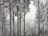Evergreen forest in winter Photographic Print by Paul Linse