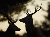 Pair of Red Deer Stags Photographic Print by Andrew Parkinson