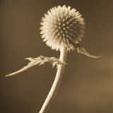 A Lone Thistle Against the Sky Photographic Print by Tom Marks