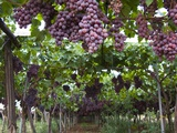 Red table grapes on vine in Basilicata Lámina fotográfica por Mark Bolton