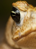 Toad in Costa Rica Photographic Print by Paul Souders