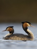 Pair of Great Crested Grebes Photographic Print by Andrew Parkinson