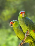 Red-lored parrots in Honduras Photographic Print by Keren Su