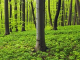 Beech forest in Bad Langensalza Photographic Print by Frank Krahmer