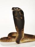 Moroccan Cobra Photographic Print by Martin Harvey