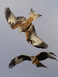 Pair of Red Kite in Flight Photographie par Andrew Parkinson