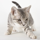 Gray kitten pawing Photographic Print by Michael Kloth