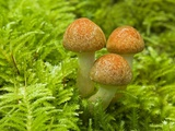 Mushroom, Vancouver Island, British Columbia, Canada. Photographic Print by Tim Zurowski