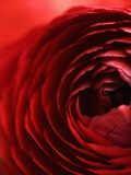 Close-Up of Dark Red Persian Buttercup Photographic Print by Clive Nichols