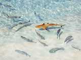 Juvenile Blacktip Reef Shark in Clear Shallow Water at Dhonakulhi Island Photographic Print by Frank Krahmer
