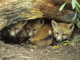 Red Fox Kits Huddled at Den Entrance Photographic Print by Daniel Cox
