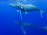 Male Humpback Whales Following Cow and Calf in Breeding Season Stampa fotografica di Paul Souders