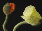 Corn poppy buds, close-up Photographic Print by Claudia Rehm