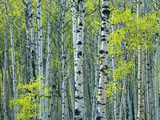 Spring Foliage on Trembling Aspen, Jasper National Park, Alberta, Canada. Photographic Print by Mike Grandmaison