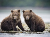 Grizzly Bear Cubs at Geographic Harbor in Katmai National Park Photographic Print by Paul Souders