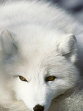 Adult Arctic Fox (Alopex Lagopus) in Winter Pelage, Arctic Canada Photographic Print by Wayne Lynch
