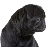 Black Pug Photographic Print by Michael Kloth