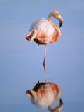 Greater Flamingo (Phoenicopterus Ruber), Isabela Island, Galapagos Archipelago, Ecuador Photographic Print by Wayne Lynch