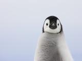 Emperor Penguin Chick Photographic Print by Keren Su
