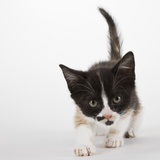 Calico kitten Photographic Print by Michael Kloth