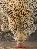 Leopard Drinking, Greater Kruger National Park, South Africa Photographic Print by Wim van den Heever
