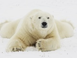 Polar bear lying in snow Photographic Print by John Conrad