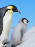 Emperor penguin with chick Photographic Print by Frank Krahmer
