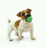 Jack Russell Terrier with Ball Photographic Print by Pat Doyle