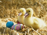 Pair of ducklings with Easter eggs Photographic Print by Ada Summer