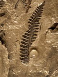 Fossil Fern Found in the Vermillion Grove Coal Mine in Illinois Photographic Print by Layne Kennedy