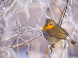 Robin among frost covered branches Photographic Print by Andrew Parkinson
