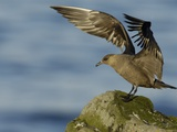 Arctic Skua Photographic Print by Andrew Parkinson